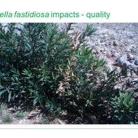 Plant Health - Xylella fastidiosa, quarantine pest information and biosecurity