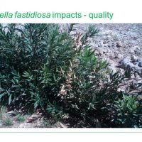Plant Health - Xylella fastidiosa, quarantine pest information and biosecurity